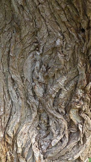 Bark of a willow Baumrinde Einer Weide Natural Pattern Rough Texture Textured  Tree Bark Willow Wood