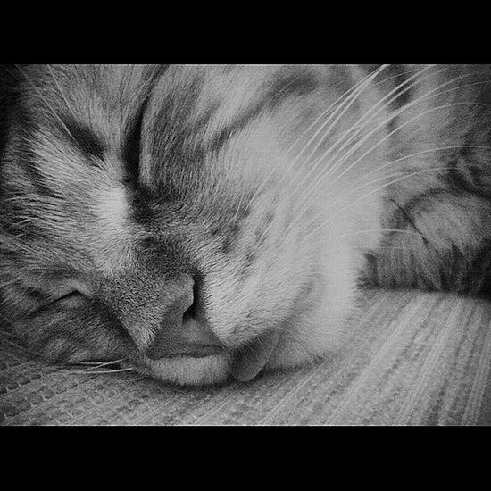 Blackandwhite Cat Tongue Lingua Gatto Sleep Beautiful B&W Portrait Pets Corner Shades Of Grey Macro Beauty