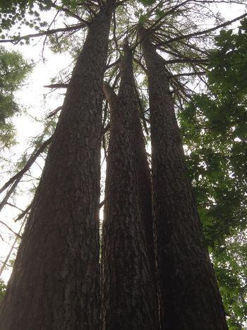 2018.07.21 #夜叉神峠 より Tree Low Angle View Plant Trunk Tree Trunk Growth Nature