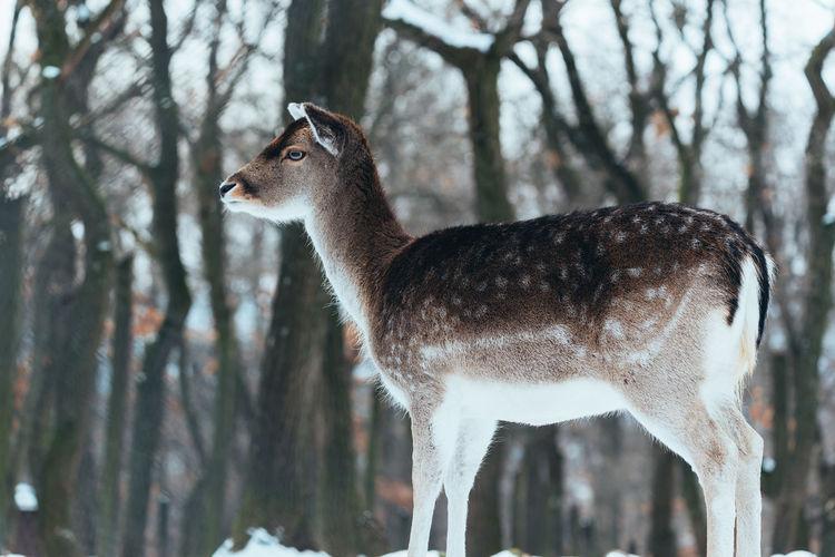 Fallow deer in the winter forest Fallow Deer Deer Female Deer Dama Dama Wildlife Mammal Nature Animals In The Wild Forest Wildlife & Nature Winter Snow Wilderness Antler Fauna Habitat Wild Animals