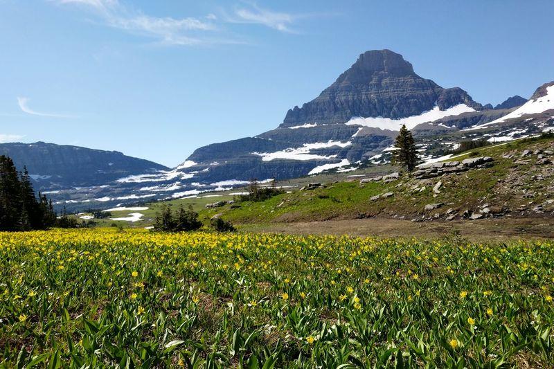 alpine meadow, Logan Pass Alpine Meadow Summer Flower Mountain Snow Rural Scene Mountain Peak Field Snowcapped Mountain Sky Landscape Mountain Range Wildflower