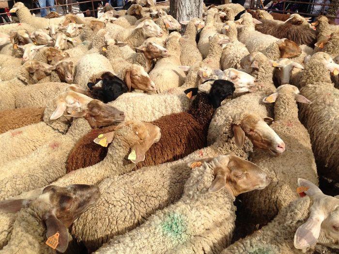 High angle view of sheep flock at farm