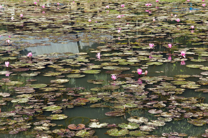 waterlily, lotus flowers in pond Lotus Lotus Flowers Lotus Leaf Waterlily Abundance Beauty In Nature Day Floating Floating On Water Flower Fragility Growth Leaf Lily Lily Pad Lotus Lotus Water Liliy Lotus Water Lily Nature No People Outdoors Petal Plant Pond Reflection Tranquility Water Water Lily Water Plant Waterfront Waterlilypond