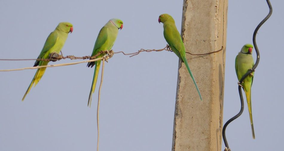 Rose-ringed parakeets perching on cable against sky