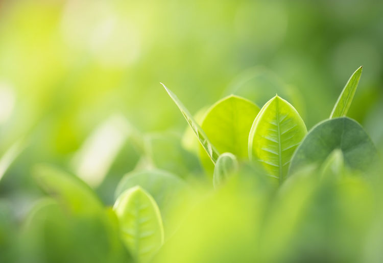 Closeup of nature green leaf and sunlight with greenery blurred background use as decoration ecology environment , fresh wallpaper concept. - Image Backdrop Background Beautiful Beauty Blur Blurry Bokeh Botany Branch Bright Closeup Colorful Copy Day Design Ecology Environment Flora Foliage Forest Fresh Garden Green Greenery Growth Landscape Leaf Leaves Light Lush Morning Natural Nature Outdoor Park Pattern Plant Scenery Season  Shiny Space Spring Summer Sun Sunlight Sunny Sunshine Texture Tree Wallpaper