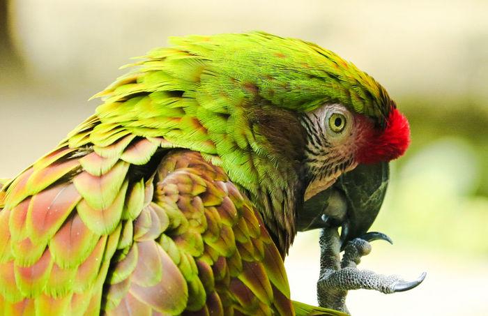 Tadaa Community Malephotographerofthemonth Texas Photographer Nature Photography Bird Macaw Parrot Multi Colored Portrait Tree Perching Looking At Camera Feather  Rainbow Lorikeet Tropical Bird Green Background