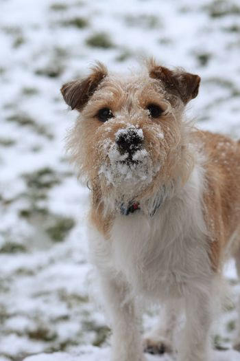 dog in snow Shaddow And Light Dogs Of EyeEm Dogs Jack Russell Snow Dogs Of EyeEm Winter Pets Water Portrait Ear Snow Dog Winter Looking At Camera Cold Temperature Puppy Lap Dog Canine Paw Purebred Dog
