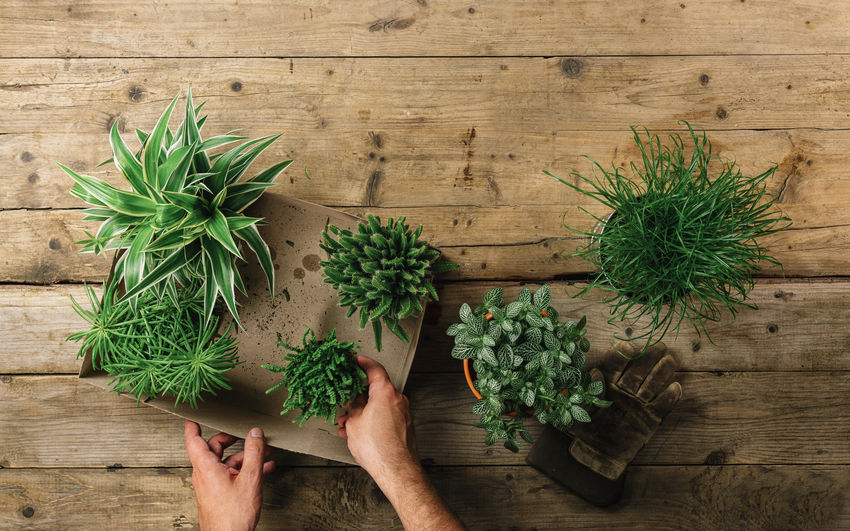 hands transplanting plant a into a new pot Agrarian Agriculture Care Copy Space Desk Earth Eco Gardener Gardening Lifestyle Wood Workplace Finger Floral Flower Flowerpot Holding Human Body Part Human Hand One Person Plant Plant Pot Replanting Table Top View