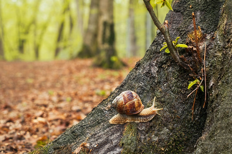a snail on a tree in the forest A Snail On A Tree In The Forest Snail Fosettes Rien D'autre A Dire Forest Autumn Fall Animal Wildlife Animal Animal Themes Animals In The Wild Gastropod Mollusk Tree Invertebrate Tree Trunk Day Trunk Plant Shell Close-up Focus On Foreground Nature No People One Animal Animal Shell Outdoors
