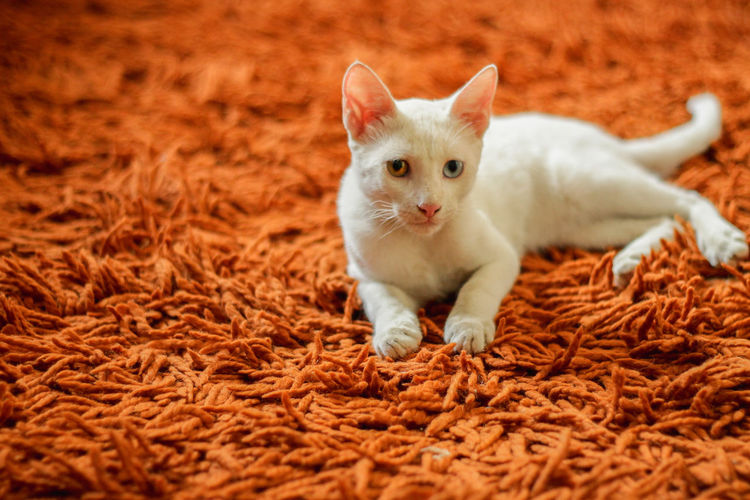 cats Cat White Morocco Cat Cat Lovers Cute Different Eye Color Different Eyes Domestic Animals Eye Blue Eyes Feline Fur Kitten Looking At Camera Mammal No People One Animal Orange Color Pets Portrait Rug Selective Focus Young Animal