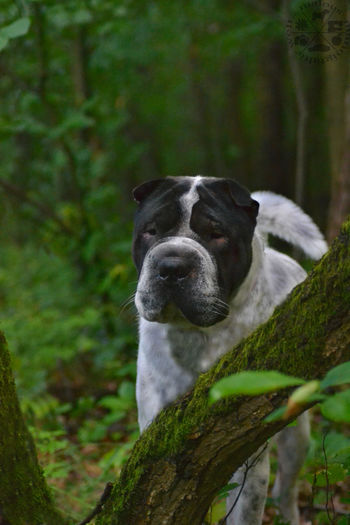 Wald Forest Forest Photography Dog Perro Chien Hund Shar Pei Dog Love Dogs Of EyeEm Hunde Liebe ♡ Dogphotography Hundefotografie Nikonphotography Nikon