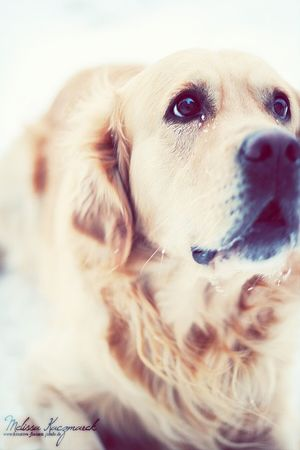 Dogs Taking Photos Goldenretriever Pets