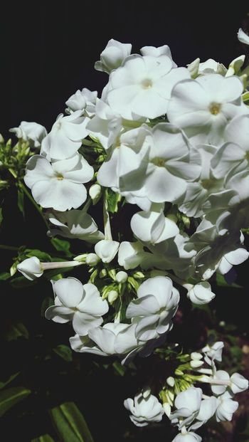 Such sweet smelling PHLOX
