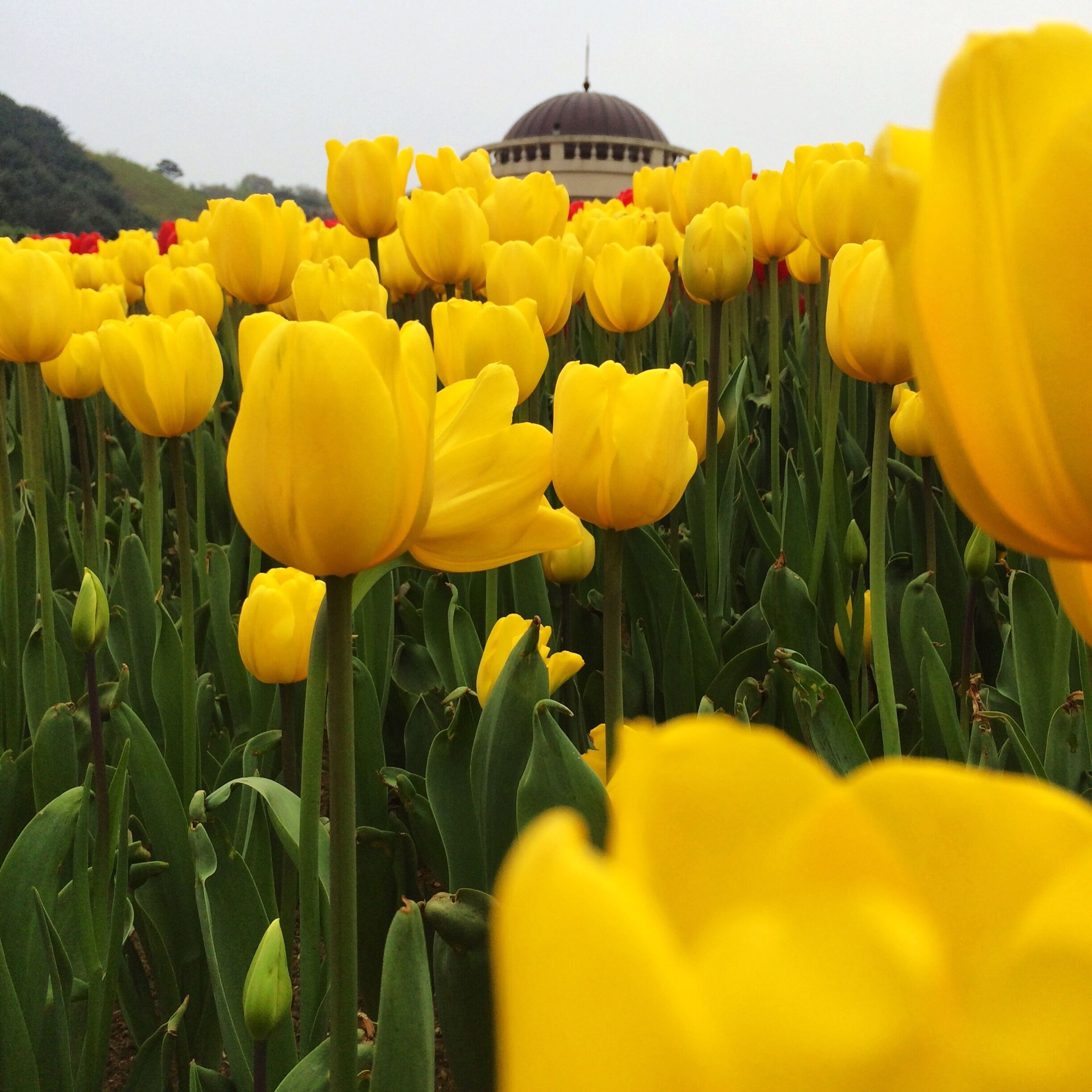 flower, yellow, freshness, fragility, growth, petal, tulip, beauty in nature, field, flower head, blooming, plant, nature, agriculture, abundance, rural scene, clear sky, flowerbed, in bloom, sky