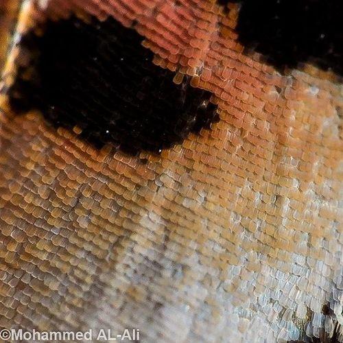 جزء صغير من جناح الفراشة A small part of butterfly wing Ricoh Gr Ricohgr Macro Butterfly Wing SuperMacro Softboxes Softbox Softboxlight Basrah Iraq Closeup