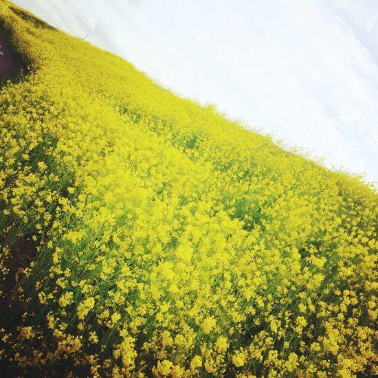 菜の花 Spring