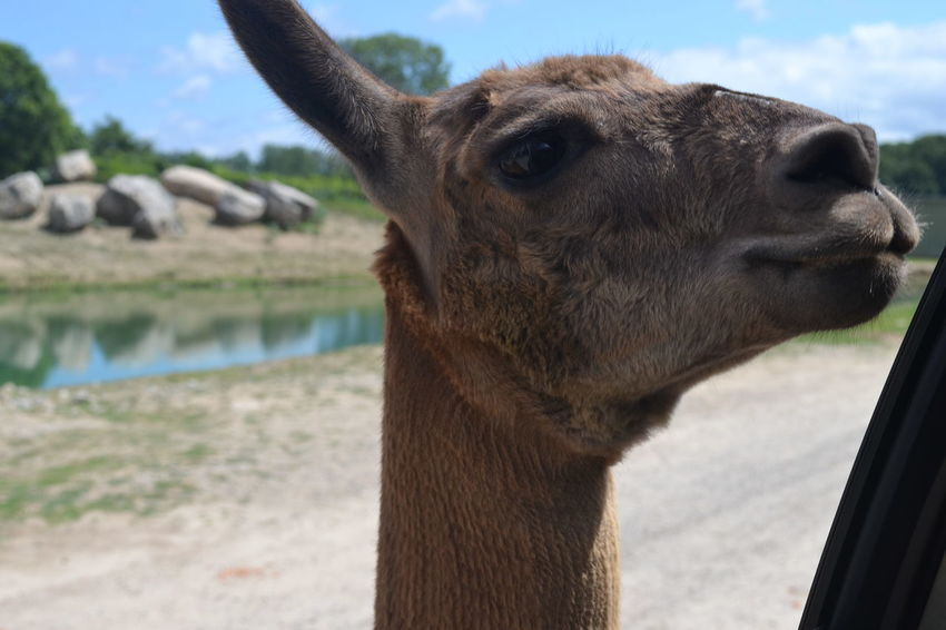 African Safari Wildlife Park Animal Head  Animal Themes Close-up Day Focus On Foreground Llama Mammal No People Ohio One Animal Outdoors Sky