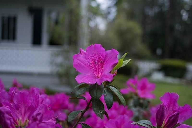 Happy Mothers Day! A photo of beautiful Azaleas for all the mothers. 📷😘 Visitsavannah Discoversavannah Azalea Flowers Flower Garden Mothersday Mom Celebrate Happy Pink Love Getoutside Adventure Explore Savannah . Sunday Holiday Plants Nature Natureaddict Wakeup Morning Goodmorning