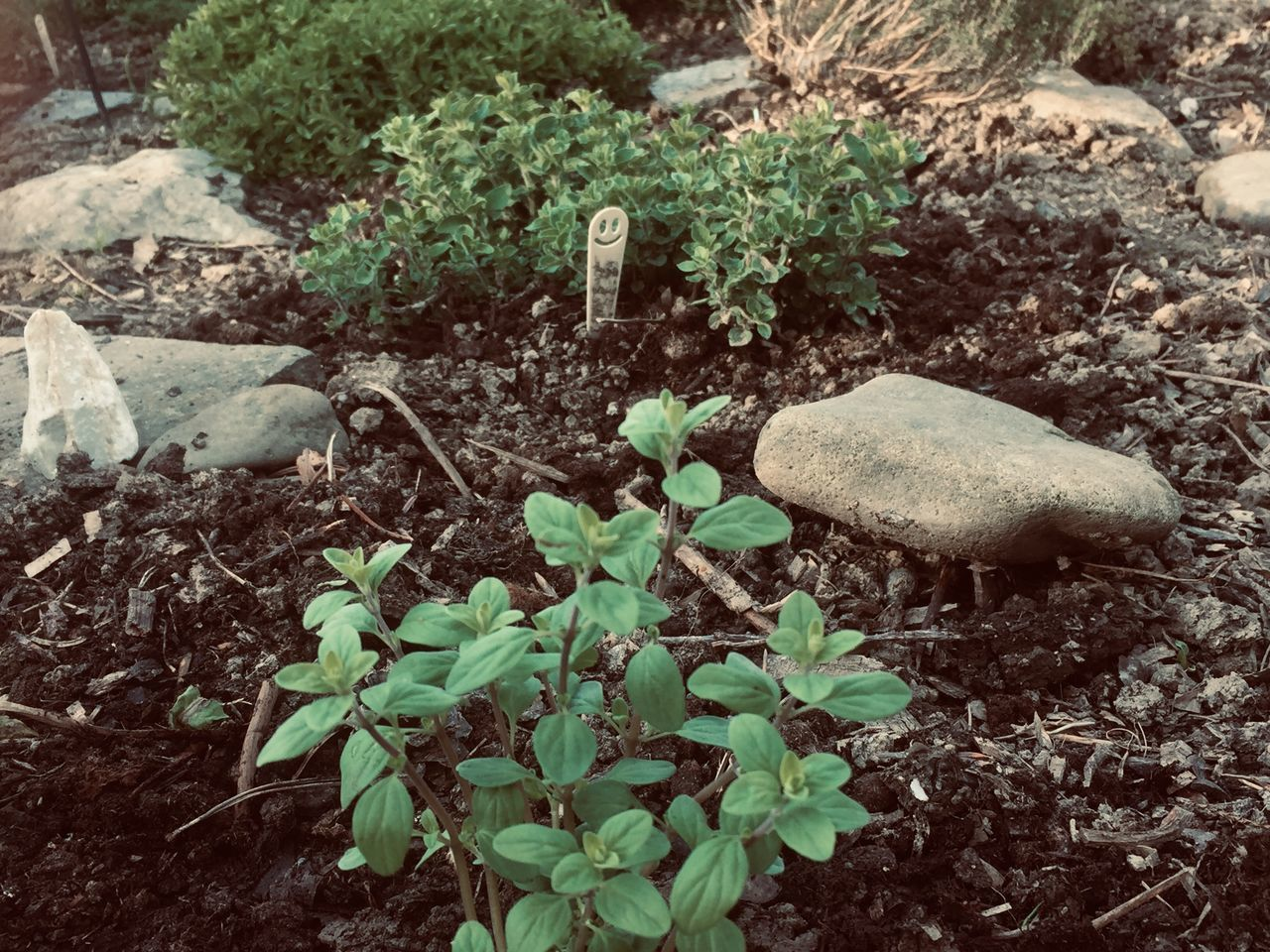 plant, growth, land, no people, nature, leaf, plant part, field, day, beauty in nature, high angle view, vegetable, outdoors, freshness, green color, close-up, food, solid, stone, mushroom