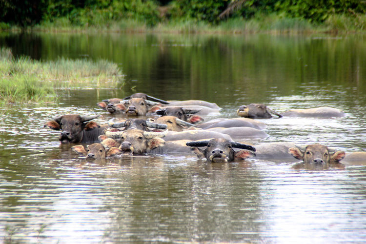 The Big Family #kebo #kerbau Animal Themes Domestic Animals Large Group Of Animals Nature Outdoors Reflection Swimming Water