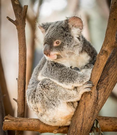 Koala on wood