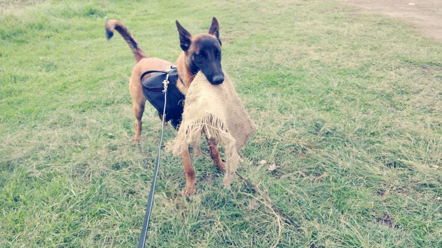 Logan PastorBelgaMallinois Dog