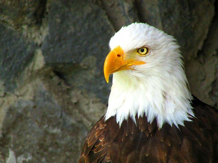 Birds Bird Photography Birds_collection Aguila American Eagle EyeEm Birds EyeEm Nature Lover EyeEm Animal Lover Birds Of EyeEm  Taking Photos