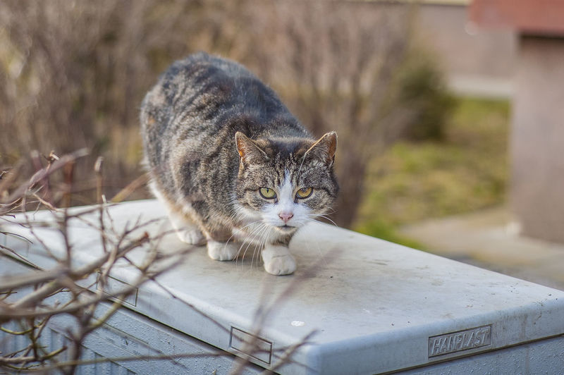 Cat Day Domestic Domestic Animals Domestic Cat Feline Focus On Foreground Looking At Camera Mammal No People One Animal Outdoors Pets Portrait Vertebrate Whisker