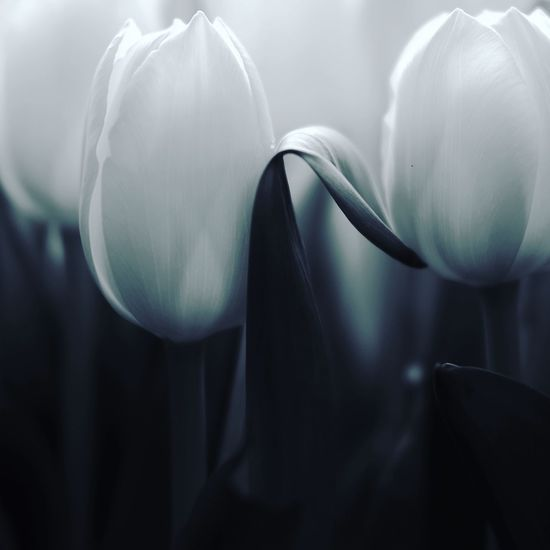 Kindness EyeEm Best Shots - Black + White EyeEm Best Shots - Nature EyeEm Best Shots Flower Petal Fragility Beauty In Nature Flower Head Freshness Nature Calla Lily Growth White Color Tulip Close-up No People Soft Focus Plant Day Springtime Blooming Indoors  Snowdrop
