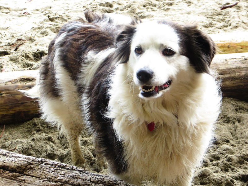 Beach Dog Black & White Border Collie Canine Cute Pets Dog❤ Domestic Animals Perky Ears Pets