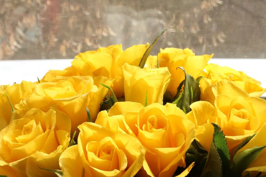 Yellow roses close-up Macro Indoors  Flower Petal Freshness Fragility Beauty In Nature Nature Flower Head Yellow No People Plant Close-up Growth Day Blooming
