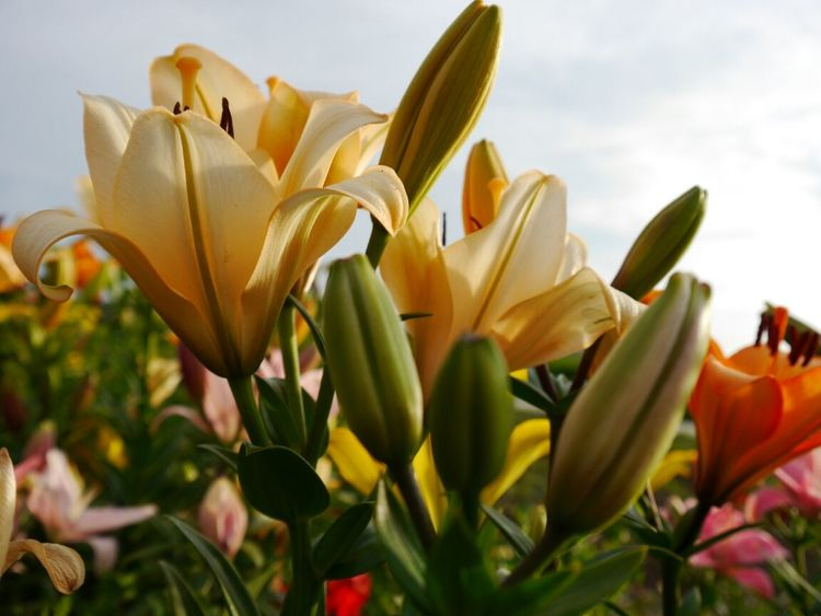 Wonderful lilies...happy weekend:))♥♥♥ EyeEm Nature Lover Streamzoofamily Flowerporn Our Planet
