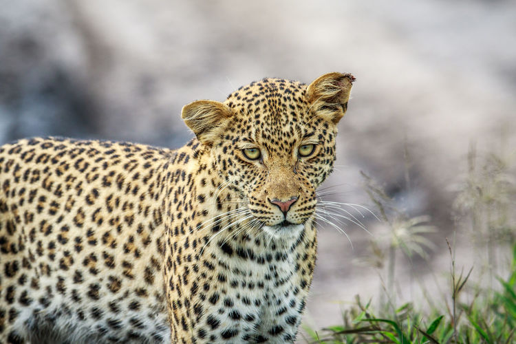 Close-Up Portrait Of Leopard Standing In Forest
