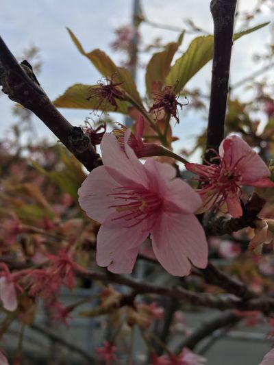 Growth Flower Nature Fragility Petal Beauty In Nature Close-up Pink Color Flower Head Iphonephotography Freshness Springtime No People Blossom Tree Stamen Twig Outdoors Pistil Day Sky