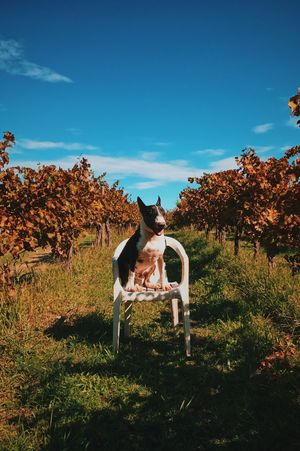 Babe Domestic Animals Pets Outdoors One Animal Nature No People Bullterrier English Bull Terrier Wineyard Chair