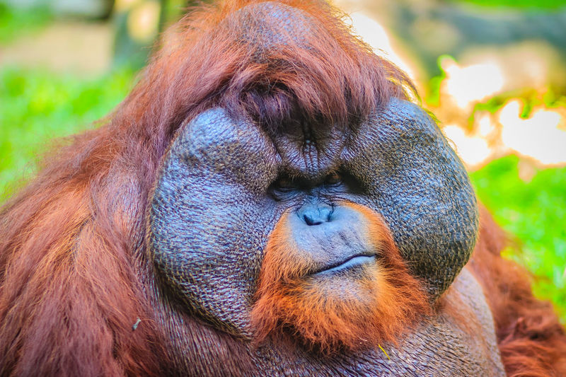 Close up to face of dominant male, Bornean orangutan (Pongo pygmaeus) with the signature developed cheek pads that arise in response to a testosterone surge. Bornean Gibbon Borneanorangutan Orangutan Of Borneo Pongo Bornean Bornean Orang Utan Bornean Orangutan Dominant Male Orangutan Orangutan Closeup Orangutang Orangutans Pongo Pygmaeus