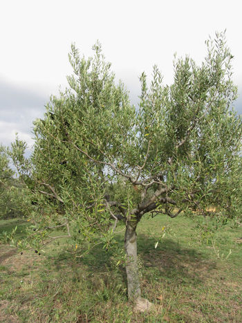 Mediterranean olive tree in Tuscany, Italy Agriculture Country Countryside Cultivation Farming Field Food Green Grove Leaves Mediterranean  Natural Olive Olive Oil Olive Tree Organic Plant Plantation Rural Seasonal Soil Tree Trunk Tuscany Wood