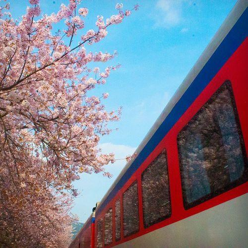진해벚꽃축제 혼자여행 풍경 기차가코앞으로가서움찔한건비밀 니콘D610 Nikond610 Jinhae Photographer Travel Follwme 😀😀