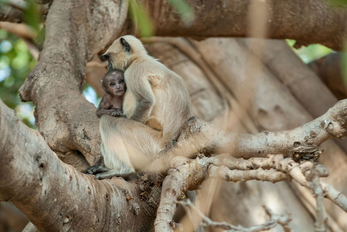 Hanuman langurs - baby and mother Baby Hanuman Langur India Ranthambore National Park Simia Entellus Animal Animal Family Animal Themes Animal Wildlife Animals In The Wild Gray Langur Langur Mammal Monkey Nature No People Outdoors Primate Rajasthan Ranthambore Togetherness Tree Young Animal