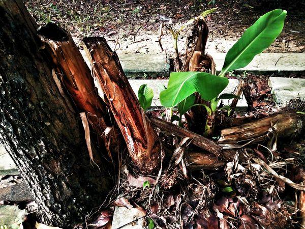 Sapling Sapling Tree Banana Tree Banana Leaf Nature Leaf Tree Green Color