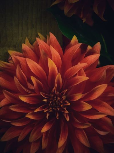 Background Dahlia Flower Dahlia Flowers Dahlia Backgrounds Flower Petal Flowering Plant Vulnerability  Fragility Flower Head Beauty In Nature Inflorescence Freshness Plant Close-up Growth No People Nature Orange Color Full Frame Dahlia Backgrounds Day Pollen