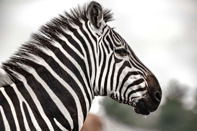 The zebra.