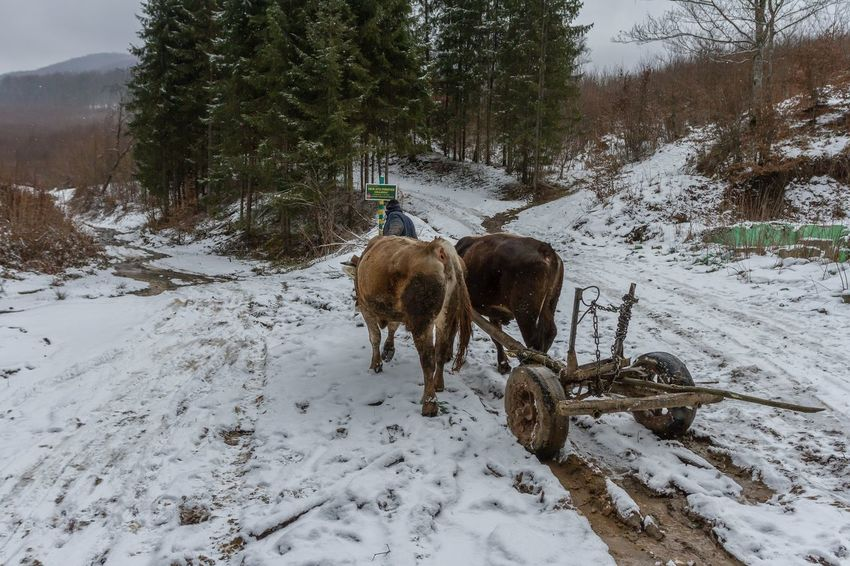 Carpathian Mountains Maramures Romania Teamwork Working Animal Themes Beauty In Nature Cold Temperature Day Domestic Animals Forest Livestock Mammal Maramures Roumanie Nature Outdoors Oxen Snow Snow Day Tree Weather Winter Shades Of Winter