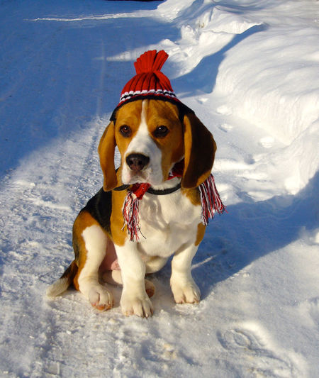 Christmas Moritz Animal Themes Beagle Beauty In Nature Christmastime Cold Temperature Day Dog Domestic Animals Field Looking At Camera Mammal Nature No People One Animal Outdoors Pets Portrait Shadow Sitting Snow Sunlight Winter EyeEm Best Shots