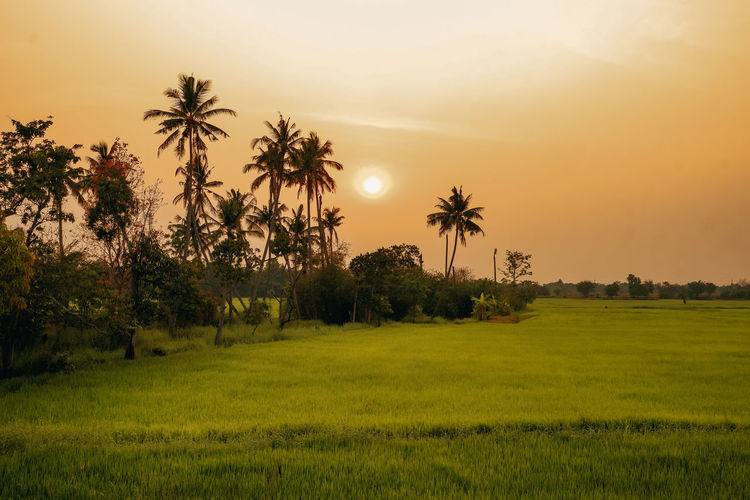 Scenic view of palm trees on field against sky at sunset