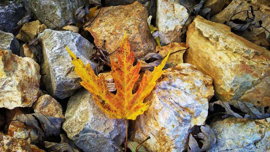 A fallen leaf on the rocks. Autumn Beauty In Nature Big Rocks, Little Stones Close-up Day Different Shape Of Rocks Different Shapes Of Stones Leaf Maple Leaf Maple Leaves Maple Leaves And The Sky Nature No People Outdoors Rock - Object Rocks