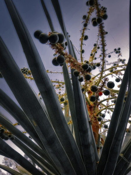 Berries On A Branch Ethereal Silhouette Flowering Plant Low Angle View Plant Sky Yucca Plant