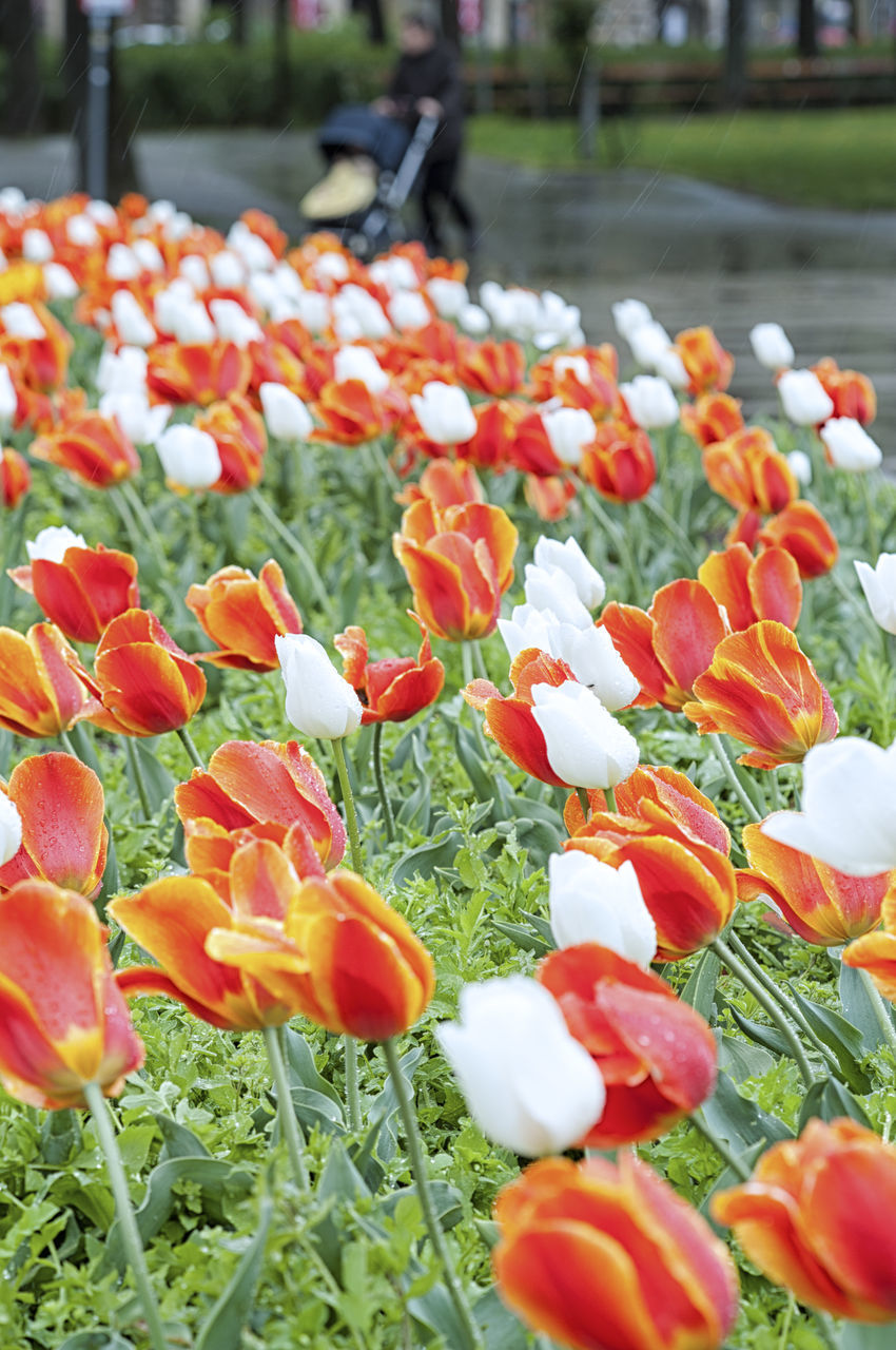 Colorful Tulips Blooming In Park