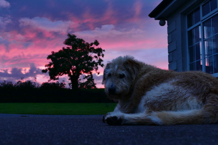 Low angle view of dog lying down against sunset