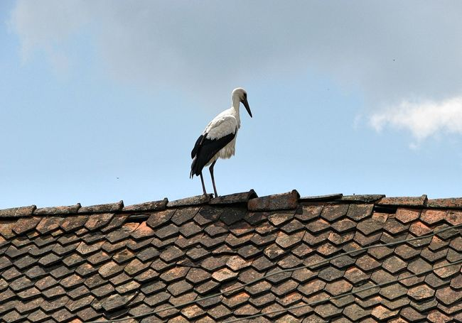 Animal Themes Animals In The Wild Bird Building Exterior Clear Sky Day Low Angle View Nature No People One Animal Outdoors Roof Roof Tile Sky Stork Tiled Roof